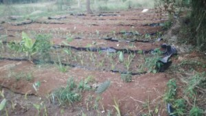 Wetland Crops growing upland © Simon Wachieni | Nutri-Fresh Farm & Agri Hub