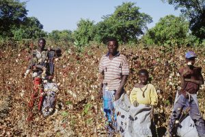 Cotton is the biggest cash crop of Mali