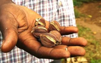 De vrucht van de Jatropha is giftig. Hier enkele noten in Tanzania © Marc van der Sterren