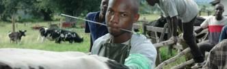 Artificial Insemination in Uganda © Marc van der Sterren